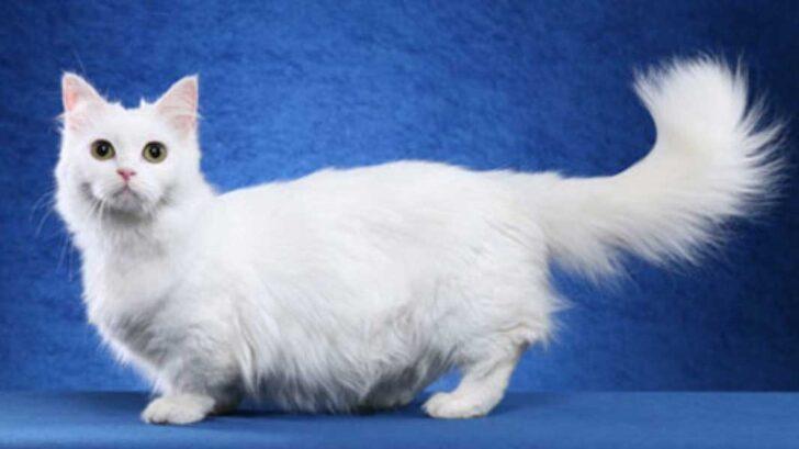 kucing-napoleon